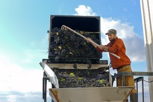 George helps the grapes into the crusher de-stemmer
