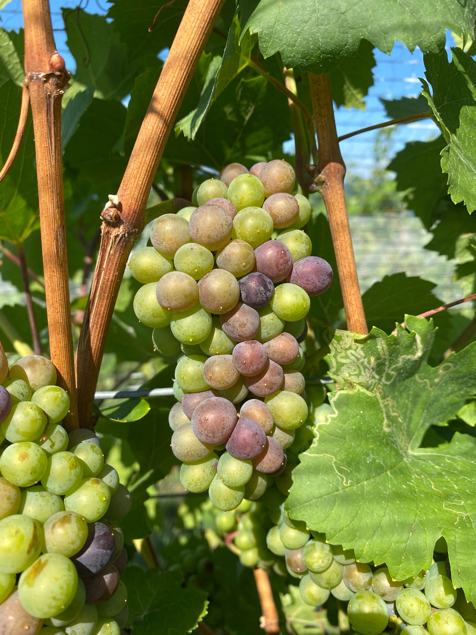 Grapes showing color.