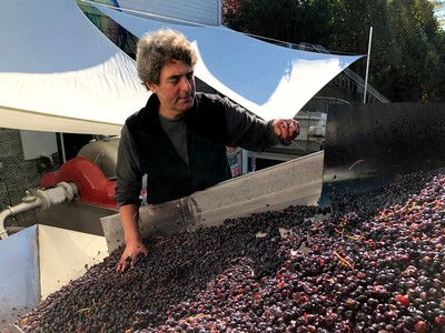 Winemaker Vinny Aliperti sorting grapes.