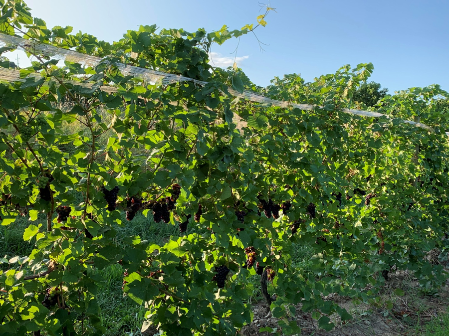 Photo of vines, an open canopy with good fruit exposure that makes beautiful wine.