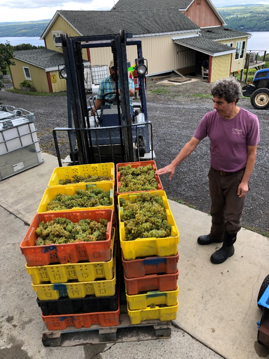 Winemaker Vinny inspects wine grapes as they are delivered by forklift.