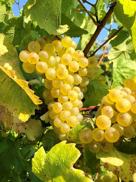 A golden cluster of chardonnay grapes.