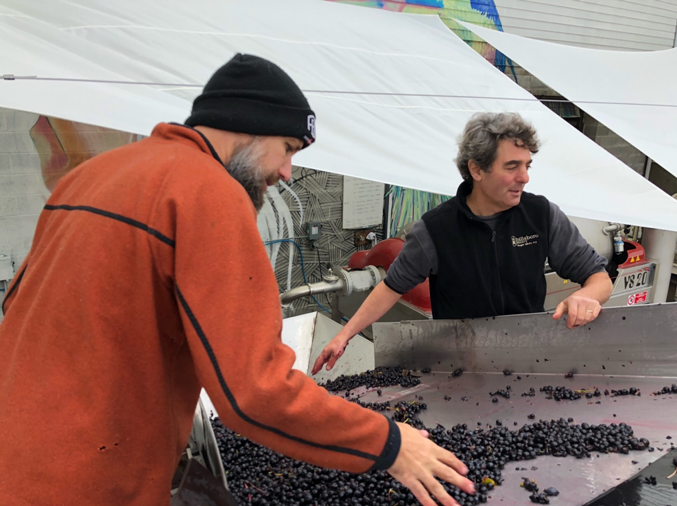 Winemakers George and Vinny sorting grapes on the sorting line.