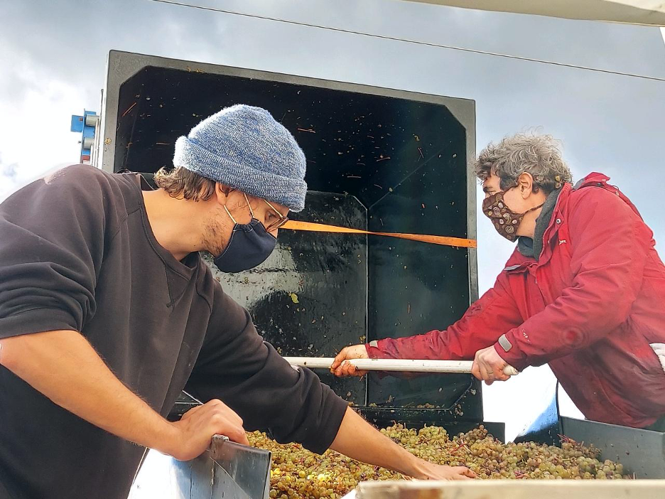 Winemakers sorting grapes by hand.